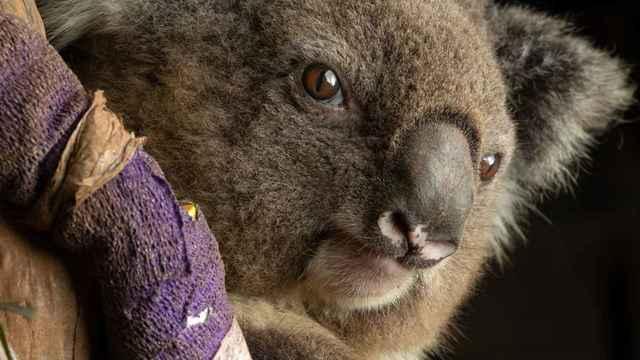 コアラ 濡れ 水 に た 知ってる?意外なコアラの不思議 [オーストラリア]