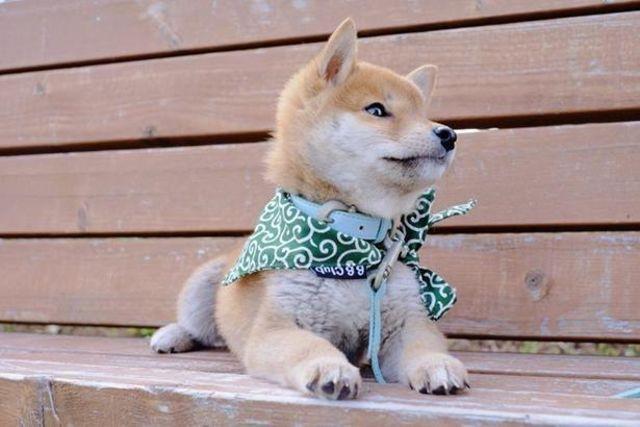 郎 柴犬 りんご 【もふもふ】柴犬の見事な「桃尻」にツイッターで18万いいね